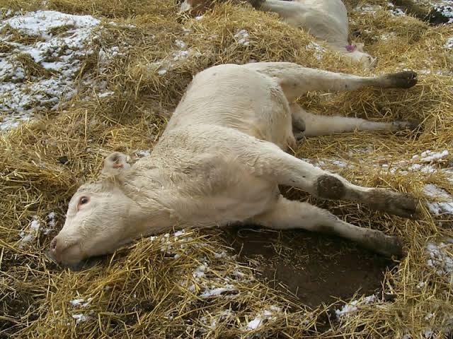 Clostridioses em bovinos